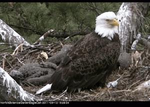 Norfolk Bald Eagles