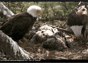 Norfolk Bald Eagle Family