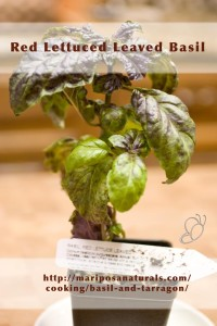 Red Lettuced Leaved Basil - This is a new variety - at least new to our area.